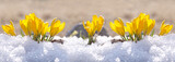 Fototapety Crocuses yellow grow in the garden under the snow on a spring sunny day. Panorama with beautiful primroses on a brilliant sparkling background.