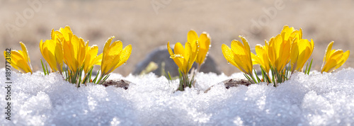 Leinwandbild Motiv Crocuses yellow grow in the garden under the snow on a spring sunny day. Panorama with beautiful primroses on a brilliant sparkling background.