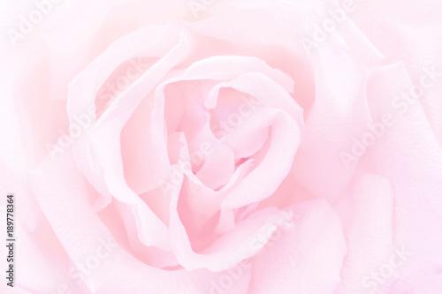 Plakat Pink rose close-up background
