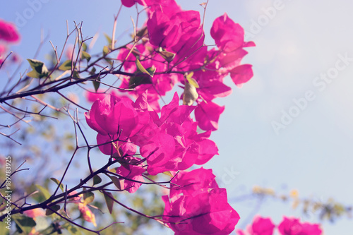 Fotobehang Roze Dreamy image of blooming bougainvillea flowers.