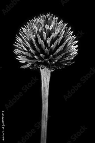 sucha czarno biała roślina na czarnym tle o wysokim kontraście  - 189783929