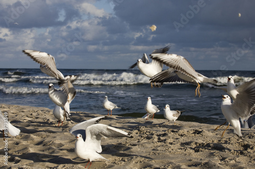 playing gulls on a spring beach at the Baltic Sea