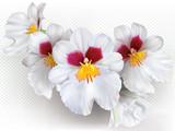 Miltoniopsis Herralexander flowers