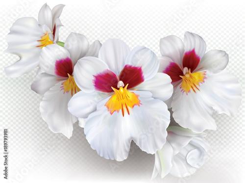 Fototapeta Miltoniopsis Herralexander flowers