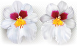 Miltoniopsis flowers on a white