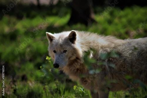 Aluminium Wolf Der Weiße