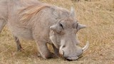A warthog kneels and eats dry grass on the plains of the serengeti, tanzania. - 189805754
