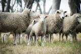 Lamb among the sheep - 189818153