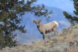 Bighorn Ram Yellowstone NP USA - 189824336