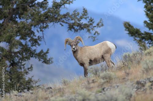 Foto Murales Bighorn Ram Yellowstone NP USA