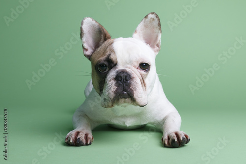 Plexiglas Franse bulldog Mollie French Bulldog
