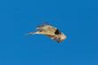 portrait juvenile bearded vulture (gypaetus barbatus) flying, blue sky