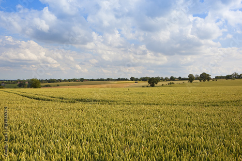Tuinposter Blauwe hemel summer landscape with wheat