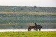 natural scenery with two horses on the riverside