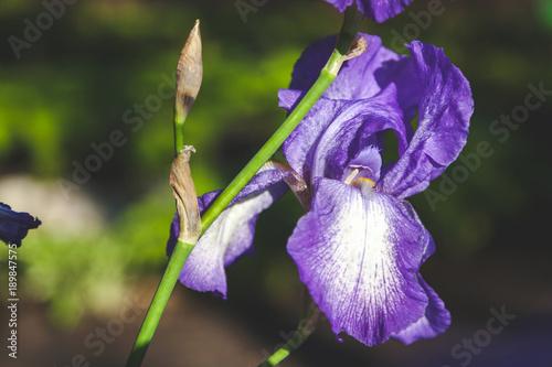 Aluminium Iris beautiful lilac flower iris closeup
