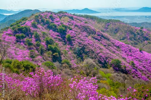 Fotobehang Azalea Beautiful Goryeosan mountain with spring flowers - Ganghwado, South Korea.