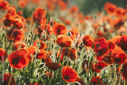 Fotobehang Klaprozen Poppy field