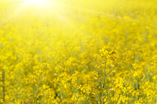 Tuinposter Meloen Bright yellow canola field under blue sky summer day