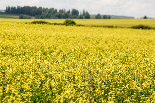Tuinposter Meloen Rapeseed field. On the horizon a strip of woodland.