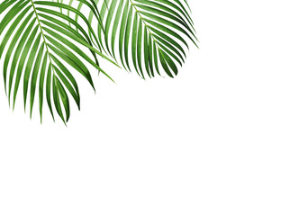 Green tropical leaf of yellow palm isolated on white background with copy space