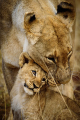 Mother and Child Lions of Madikwe