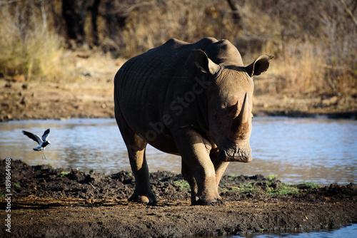 Aluminium Neushoorn Rhino from Madikwe