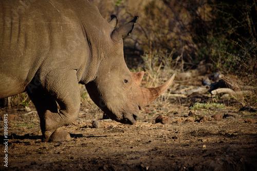 Fotobehang Neushoorn Rhino from Madikwe
