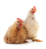 Two young chickens. - 189871185