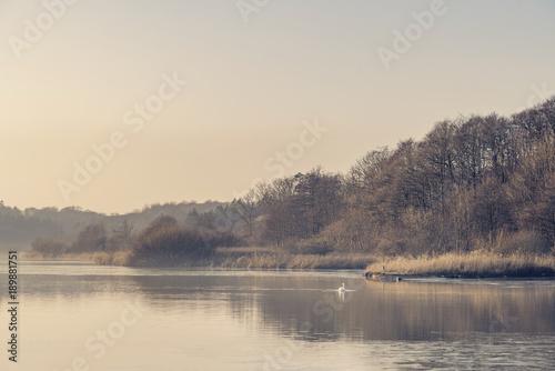 labedz-na-mglistym-jeziorze-blisko-lasu-w-ranku