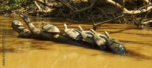 Aluminium Schildpad Turtle meet up in the Amazon river.