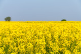 rapeseed flower in spring field - 189910520