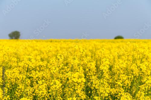 rapeseed flower in spring field
