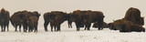 wild bisons on snowy field at blurry day - panoramic view