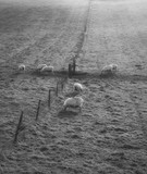 black and white Sheep grazing in landscape during glowing vibrant Winter sunrise - 189931398