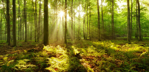 Forest of Beech Trees illuminated by sunbeams through fog, ferns covering the ground