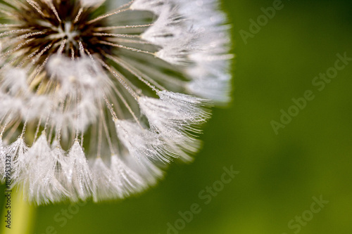 Fotobehang Paardenbloemen White dandelion blowball with drops of dew