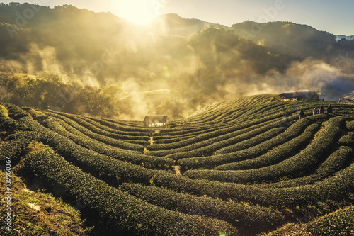 In de dag Rijstvelden Beautiful Sunrise Landscape view with morning sea of fog at Tea Plantation field at doi angkang , chiang mai , Thailand.