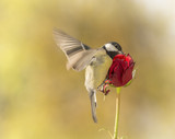 great tit flying towards a red rose - 189962785