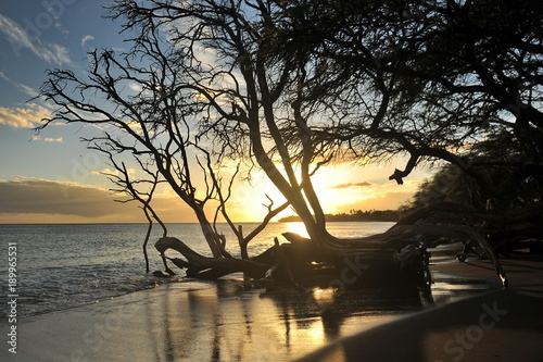 Aluminium Grijze traf. Hawaii.Maui.Graceful tree on the shore of the Pacific Ocean in the rays of the setting sun