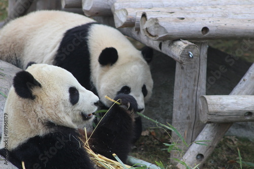 Fotobehang Panda Panda chewing bamboo which the the primary part of their diet
