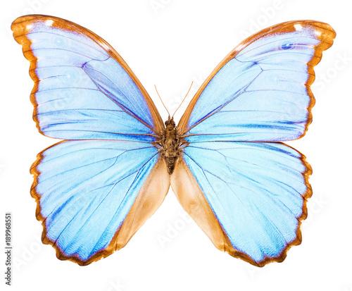 Aluminium Fyle Morpho didius tropical butterfly isolated