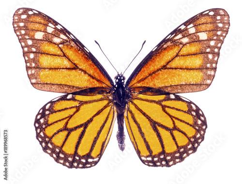 Aluminium Fyle Monarch butterfly isolated