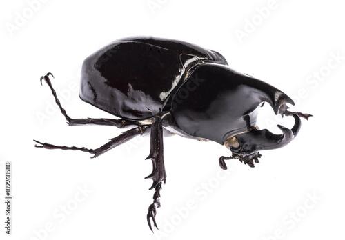 Aluminium Fyle Rhinoceros beetle Xylotrupes gideon sumatrensis isolated