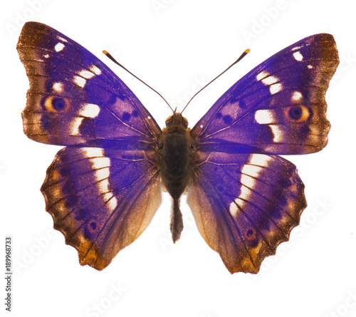 Fotobehang Fyle Purple emperor butterfly isolated