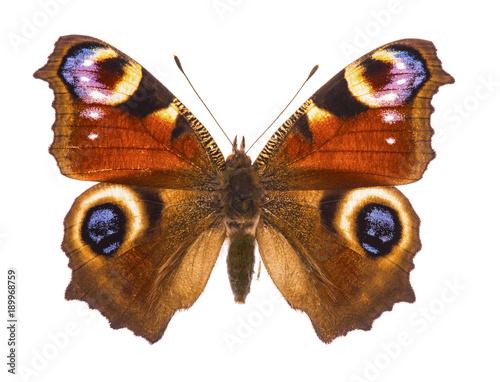 Fotobehang Fyle European peacocok butterfly