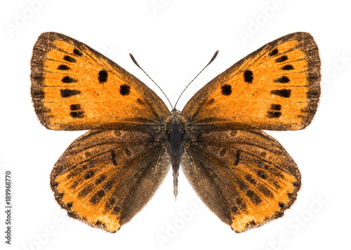 Aluminium Fyle Female large copper butterfly isolated