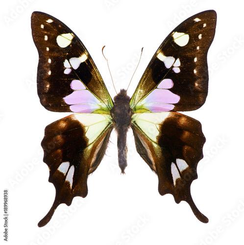 Aluminium Fyle Purple spotted swallowtail isolated
