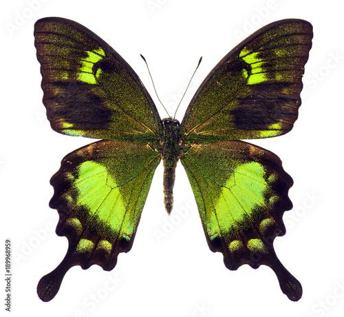 Aluminium Fyle Papilio neumoegeni tropical butterfly isolated