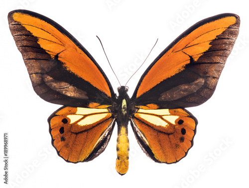 Aluminium Fyle Ornithoptera croesus tropical butterfly isolated