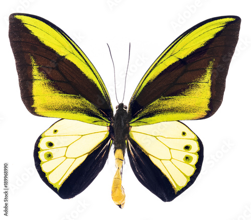 Aluminium Fyle Ornithoptera goliath tropical butterfly isolated